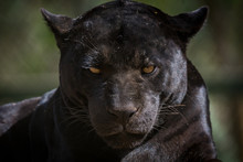 Onça Pintada / Jaguar (Panthera Onca)