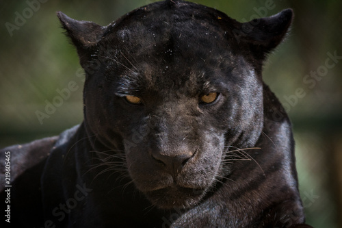 Staande foto Panter Onça Pintada / Jaguar (Panthera onca)