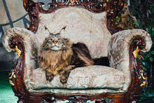 Maine Coon Cat On Antique Chair