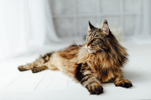 Maine Coon Cat On White Backgr...