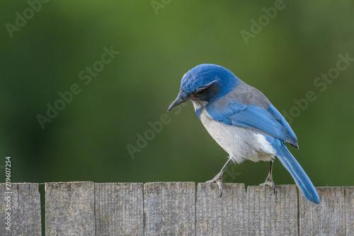 Beautiful graceful blue scrub jay bird Fototapeta