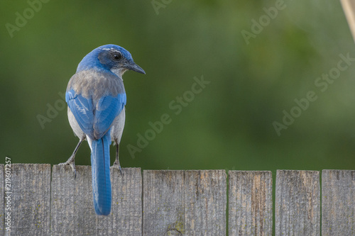 Valokuva Small scrub jay bird on fence