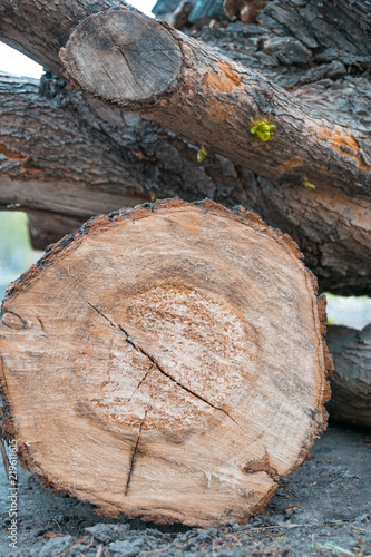 Fototapety, obrazy: Wooden log and green seedlings on a tree stump. New life concept with seedling growing.