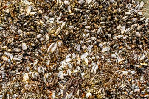 Photo  Pacific ocean mussels on rock - background or backdrop