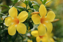 Beautiful Yellow Allamanda Flower Blooming At Rainy Season