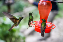 Close Up Of 3 Hummingbirds Gathering Around A Red Feeder