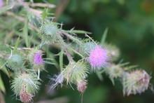 Purple Flowers 1832