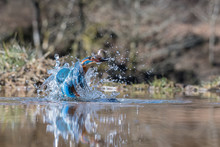 A Low Level Action Photograph Of A Kingfisher With A Minnow. The Image Is Taken At Water Level And Shows The Bird Emerging From The Water With Plenty Of Water Droplets And The Fish In Its Beak
