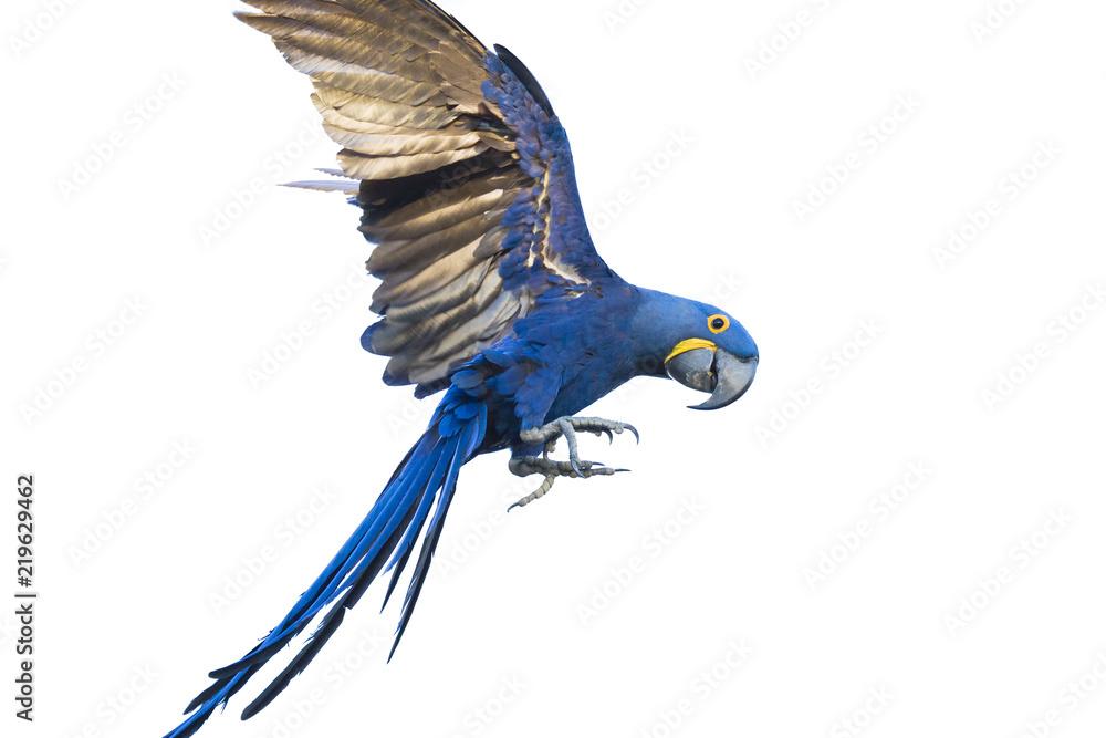 Hyacinth macaw flying