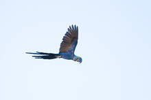 Hyacinth Macaw Flying