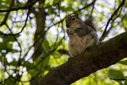 Plakat Wiewiórka na drzewie