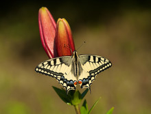 Machaon Butterfly On The Lily
