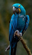 Portrait Of Hyacinth Macaw.