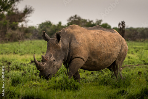 Tuinposter Neushoorn A white rhino / rhinoceros grazing in an open field in South Africa