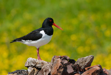 Oystercatcher With Side View Sitting On A Heap Of Stones On A Lush Yellow Bokeh Background