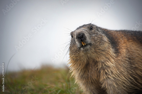 curious alpine marmot looking in the camera - Großglockner Austria