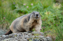 Alpine Marmot Sitting On A Sto...