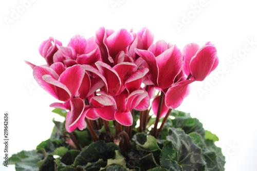 Fotografie, Obraz  シクラメンの花