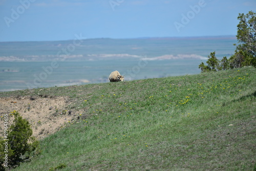 Deurstickers Khaki big horn sheep