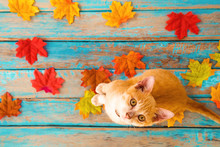 Orange Kitten Look Up And Sitting On Maple Leaves In Autumn.  Domestic Cute Cat In Fall.