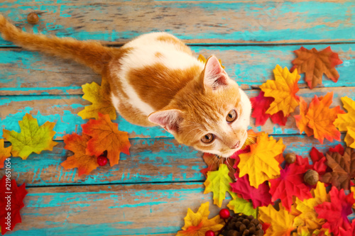Kitten look up and sitting on maple leaves in autumn Fototapet