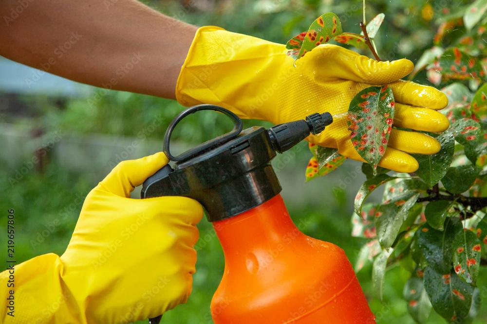 Fototapeta Pear leaves in red dot. Gardener sprinkles diseased tree leaves  against the fungus and pests