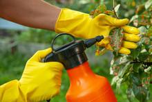 Pear Leaves In Red Dot. Gardener Sprinkles Diseased Tree Leaves  Against The Fungus And Pests