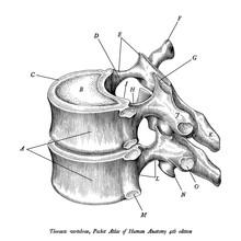 Thoracic Vertebrae Anatomy Vintage Illustration Clip Art Isolated On White Background With Description