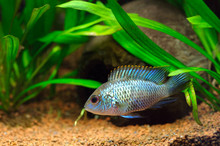 Electric Blue Acara Cichlid Fish (Nannacara Neon Blue) In Home Aquarium