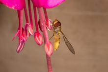 Marmalade Hoverfly On Fuchia