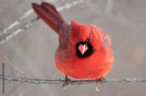 Photo  Northern Cardinal perched on branch
