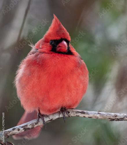 Photo Cardinal in Snow
