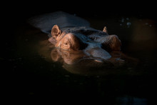 Portrait Of A Hippo With Sunse...