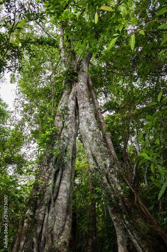Fotografie, Obraz  arbre géant