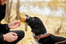 Man Walks In The Fall With A Dog Spaniel With Long Ears In The Autumn Park. Dog Frolics And Plays On Nature In Autumn Yellow Foliage, Russian Spaniel Looks At His Owner