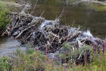 Beaver Dam Made Of Sticks On C...