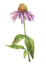 Echinacea Purpurea Flower Clos...