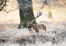 Red Deer Stag Standing In Fern On A Frosty Winter Morning