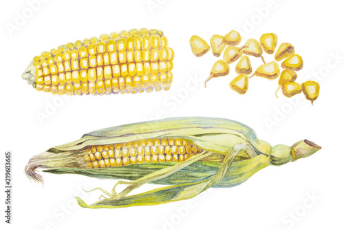 Obraz Watercolor corn and seeds of corn on white background - fototapety do salonu