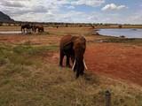 Fototapeta Sawanna - Kenya Tsavo East