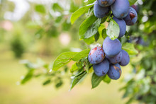 Fresh Blue Plums On A Branch I...