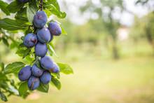 Fresh Blue Plums On A Branch In Garden