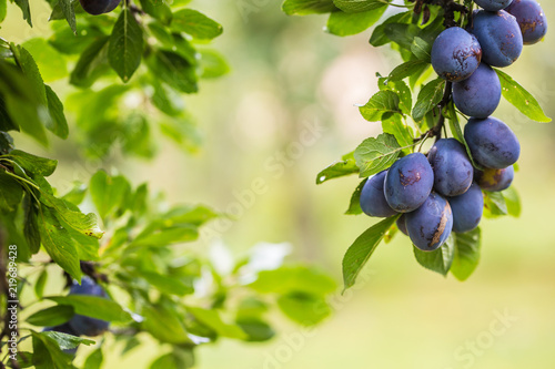 Fresh blue plums on a branch in garden