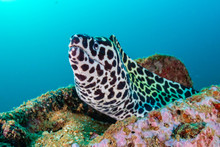 A Curious Honeycomb Moray Eel ...