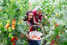 Girl Hold Basket With Freshly Picked Tomatoes In Garden