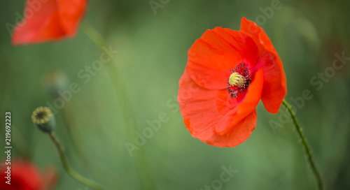Fotobehang Poppy Close-up wild poppy flowers in a field