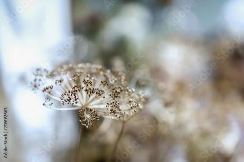 Fotografie, Obraz  Decorative dry umbelliferous inflorescence, selective soft focus