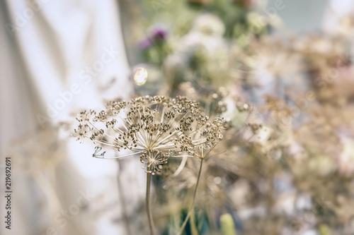 Fototapeta  Decorative dry umbelliferous inflorescence, selective soft focus