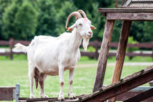 White Goat (Capra Aegagrus Hircus) Standing On A Wooden Foundation Looking At Her Family On A Field