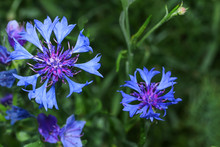 Blaue Kornblume, Centaurea Cya...